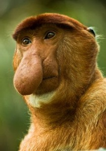 big nose monkey